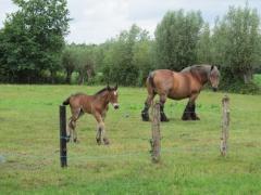 Belgische trekpaarden in de wijk 'De Bekaf'