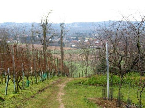 Door de wijngaarden van de Houwaartse Berg